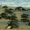 Arribada de tortugas inicia en la Costa de Oaxaca