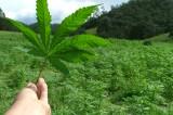 Cuatro de cada cinco mexicanos está en contra de la legalización de la marihuana