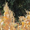 El maíz, nuestra matriz