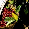 La economía del café en Oaxaca