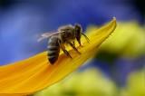 #UnOrienteVerde La población de abejas disminuye y el mundo peligra
