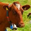 #UnOrienteVerde    ¿La ganadería industrial contamina?