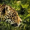 #UnOrienteVerde Una construcción pone en peligro al jaguar