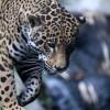 Se celebra en Oaxaca Primer Congreso y Foro Mundiales del Jaguar