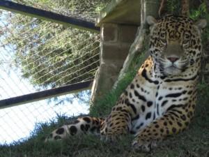 Jaguar por @PROFEPA